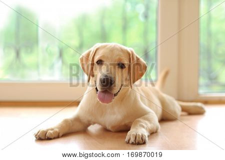 Golden Labrador dog lying on floor in room