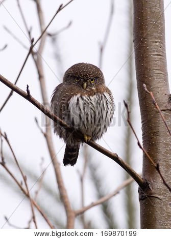 Pygmy owl sitting on a tree branch