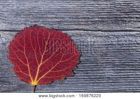 Colorful autumn, fall leaves on a wooden background. Aspen leaves in red in closeup, macro. Weathered plank, board.