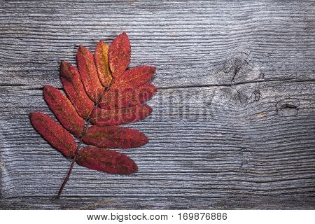 Colorful autumn, fall leaf on a wooden background. Rowan leaf in red in closeup, macro. Weathered plank, board.