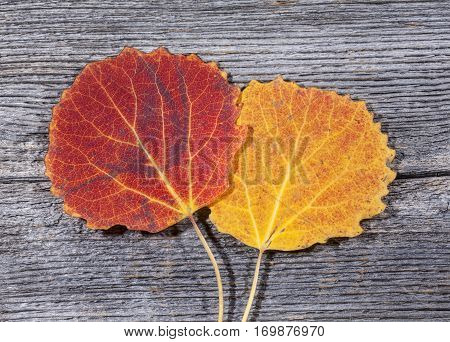 Colorful autumn, fall leaves on a wooden background. Aspen leaves in orange and red in closeup, macro. Weathered plank, board.