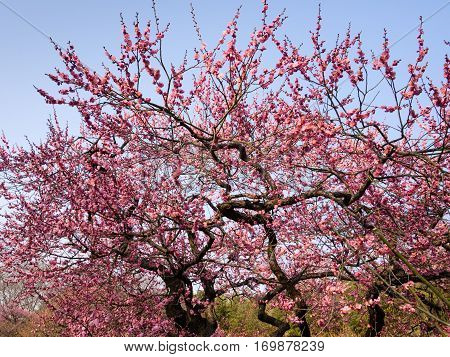 Blooming plum trees in a Japanese garden