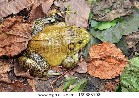 Muddy green bull frog resting in its natural habitat