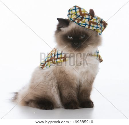adorable ragdoll cat wearing sweater and hat