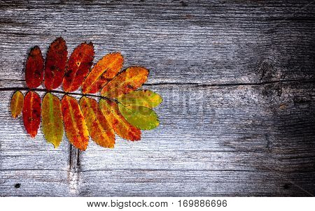 Colorful autumn, fall leaves on a wooden background. Rowan leaves in orange and red in closeup, macro. Weathered plank, board. HDR.