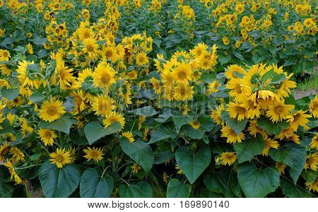 Sunflower Field, Yellow Flower At Da Lat