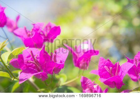 Bougainvillea flower pink flowers in the park