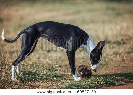 Dog in park playing with plastic bottle