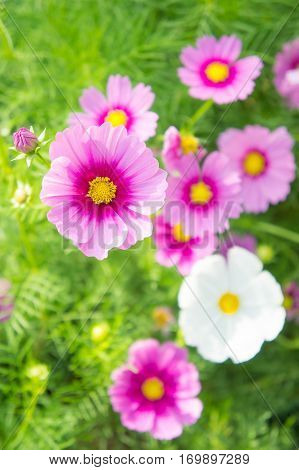 flowers cosmos white and pink flowers in the park colorful flowers pastel style