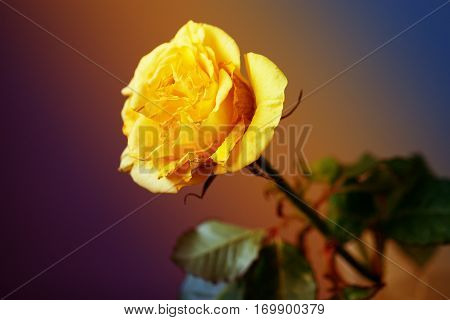 Close up of yellow rose valentine's or wedding card