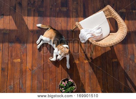 Dog lying on wooden terrace. Rattan chair and flower pot. High angle view.