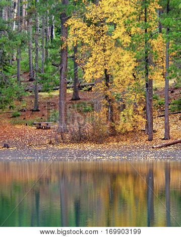 Yellow leaves brighten a tree in the fall which is reflected in Scout Lake in Central Oregon along with Ponderosa Pine Trees and leaves covering the ground.