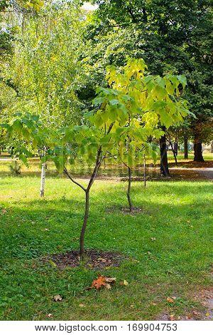 Cigar tree (Catalpa bignonioides) in the city park