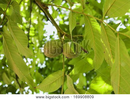 walnut, nut, immature, tree, growth, garden, shell, healthy, raw, bio, food, leaf, deciduous, vitamin, vegan, vegetarian, unripe, nature, organic, flora, vegetation, young