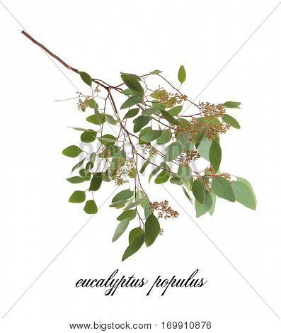 Green eucalyptus branch with name on white background