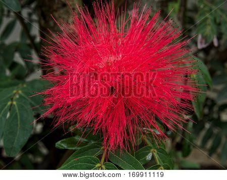 Close up of Red Powder Puff or Calliandra haematocephala Hassk with raindrops