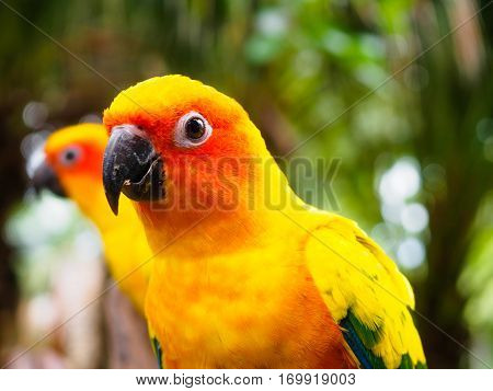 Close up head of Sun Parakeet or Sun Conure, the beautiful yellow and orange parrot bird with nice feathers details at Songkhla Thailand