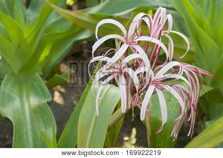 Crinum Amabile Donn Or Giantlily With Green Leaves