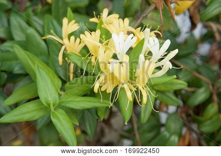 Lonicera Japonica Thunb Or Japanese Honeysuckle Yellow And White Flower