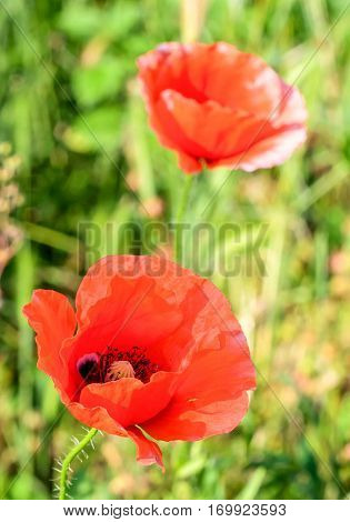 Papaver Rhoeas Red Flower, Common Names Include Corn Poppy, Corn Rose, Field Poppy, Flanders Poppy,