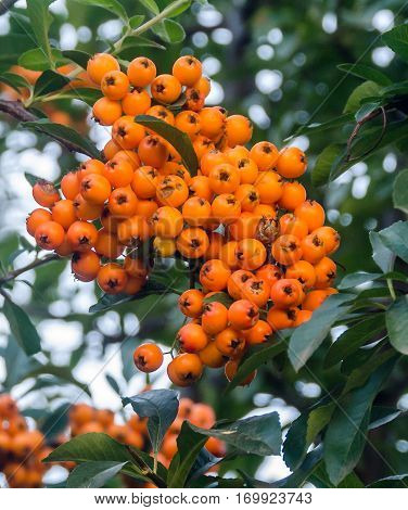 Ilex Verticillata, The Winterberry, Also Known As Black Alder Winterberry, Canada Holly , Coralberry