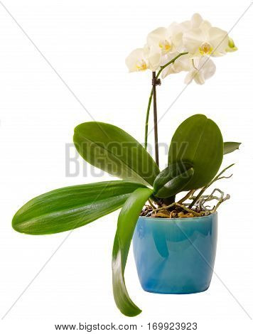 White Branch Orchid  Flowers In Blue Flowerpot, Orchidaceae, Phalaenopsis Known As The Moth Orchid,