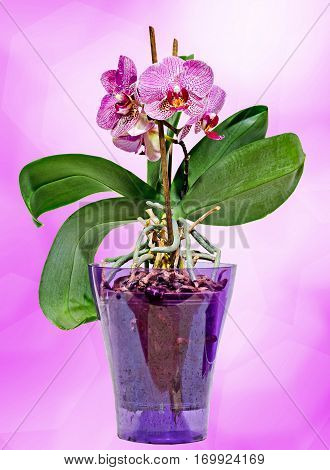 Pink Branch Orchid  Flowers In Transparent Vase, Orchidaceae, Phalaenopsis Known As The Moth Orchid,