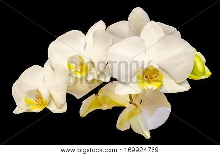White Branch Orchid  Flowers With Green Leaves, Orchidaceae, Phalaenopsis Known As The Moth Orchid,