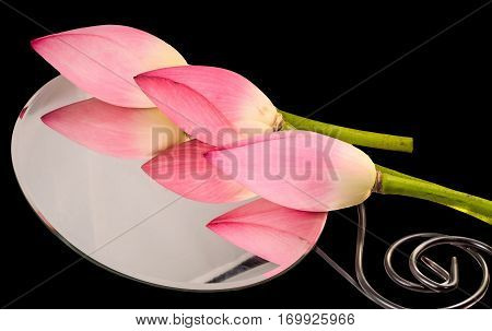 Pink Nelumbo Nucifera Flowers Standind On A Mirror, Close Up, Isolated