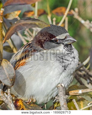 House Sparrow (passer Domesticus) On A Tree Branch. A Bird Of The Sparrow Family Passeridae. In Roma