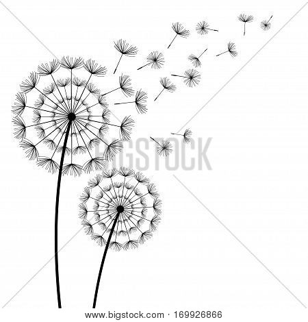 Two beautiful stylized black dandelions and flying fluff on white background. Floral stylish trendy wallpaper with summer or spring flowers. Modern nature backdrop. Vector illustration