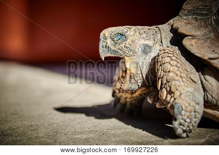 A small turtle yawning against a blurred background.