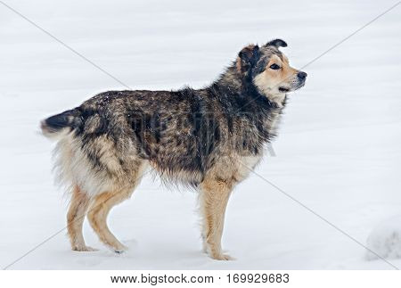 Colored Stray Dog In The Snow, Close Up.