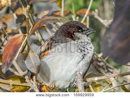 House sparrow (Passer domesticus) on a tree branch. A bird of the sparrow family Passeridae. In Romania known as