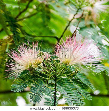 Albizia Julibrissin Tree Flower, Persian Silk Tree, Pink Silk Tree, Close Up