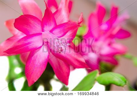 Red Schlumbergera Flower, Close Up, Isolated. Known By A Variety Of Names Including Christmas Cactus