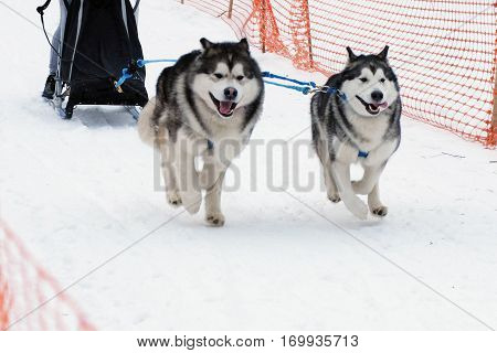 Husky dog sled run in harness on snow. Sports sled dog race. Strong hardy Siberian dogs. Energetic Pets run and compete.