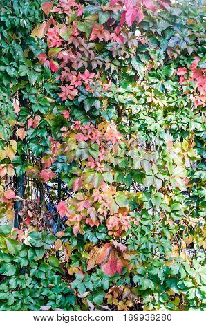 Vivid Colored Ivy Plant, Hedera, Climbing Plant, Autumn Time, Texture