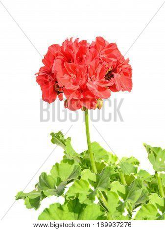 Red Geranium Flower, Close Up, White Background