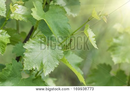 gentle young green grape leaves and mustache on grapevine in the spring closeup spring background