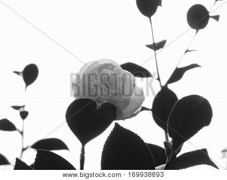 Ancient japanese cultivar of Camellia japonica flower . Black and white photo
