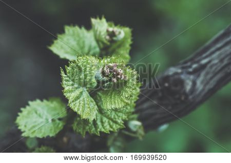 Young green tender shoots and leaves of grapes on the vine in the spring blue tone