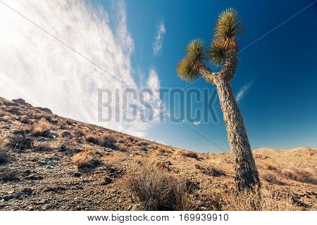 Joshua Tree on a dry land of the Death Valley National Park, USA