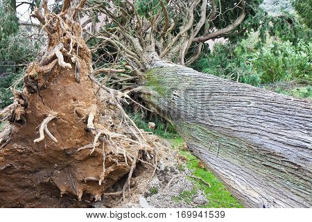 Cypress tree fallen after a wind storm