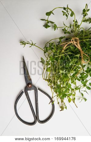 Bunch of oregano and scissors on white background. Top view with copy space