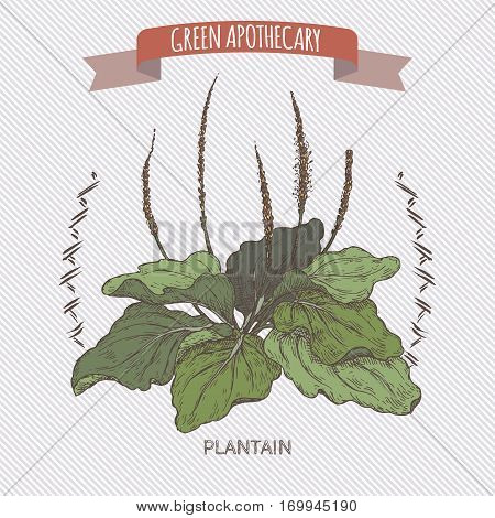Plantago major aka broadleaf plantain or fleawort colo sketch. Green apothecary series. Great for traditional medicine, gardening or cooking design.