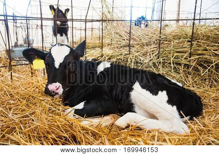 Calf In The Cowshed