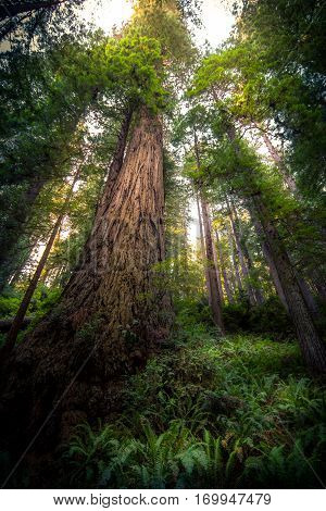 Image of a giant redwood tree reaching to the top of the forest.