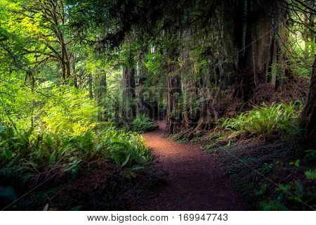 Image of a sunlit forest path in the Redwood National Park, California.