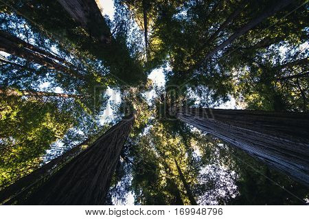 Image of the forest canopy at the Redwoods National Park, California.